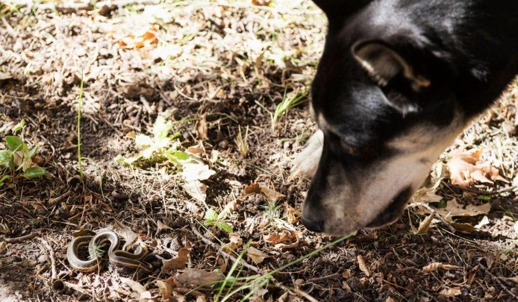 a dog encounters a garter snake
