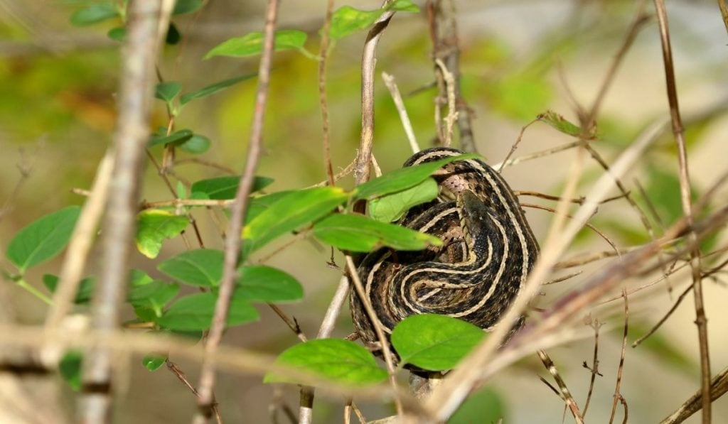a garter snake sleeping while hanging on tree branches