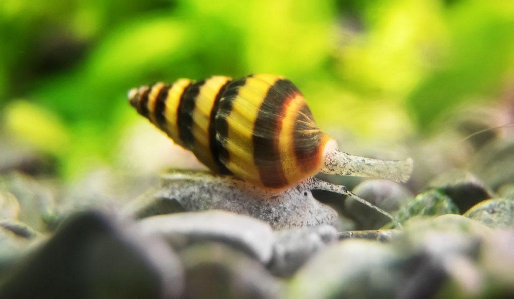 assassin snail on gravel