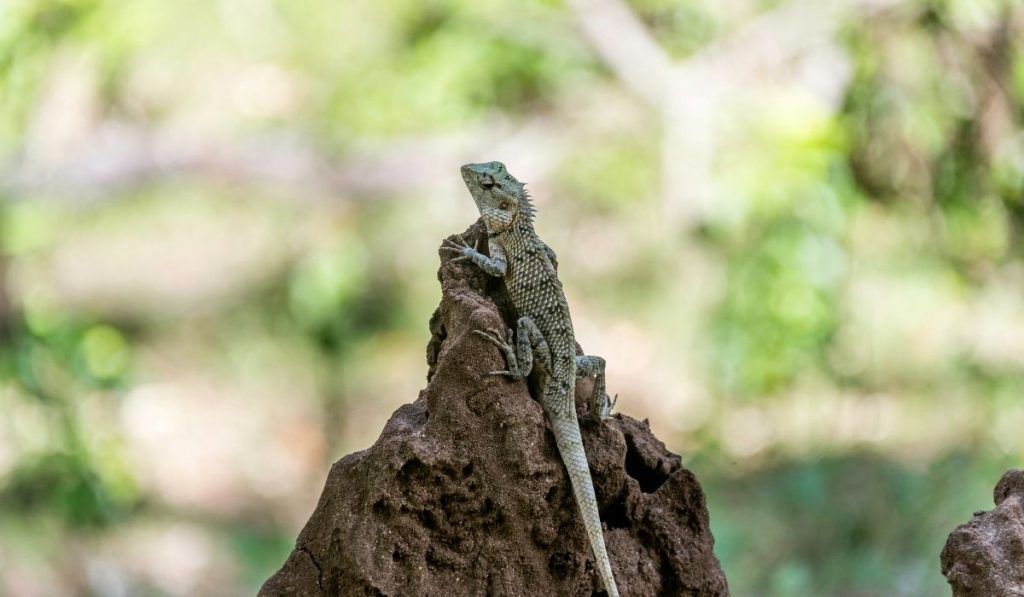 garden lizard on a rock