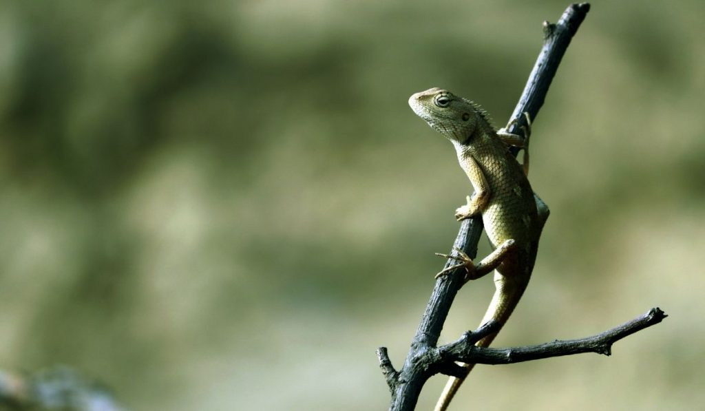 garden lizard on a stick branch