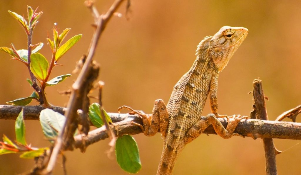 garden lizard on a tree branch