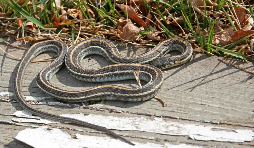 garter snake just lying on the ground