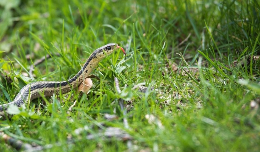garter snake on the grass