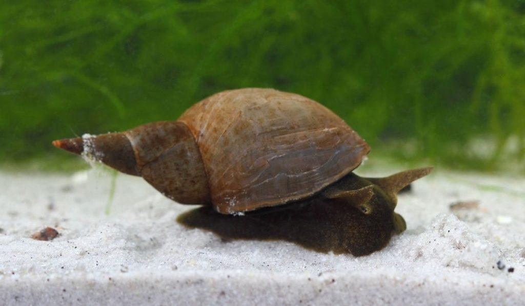 great pond snail on fine white sand