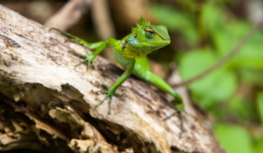 green garden lizard on a dry wood