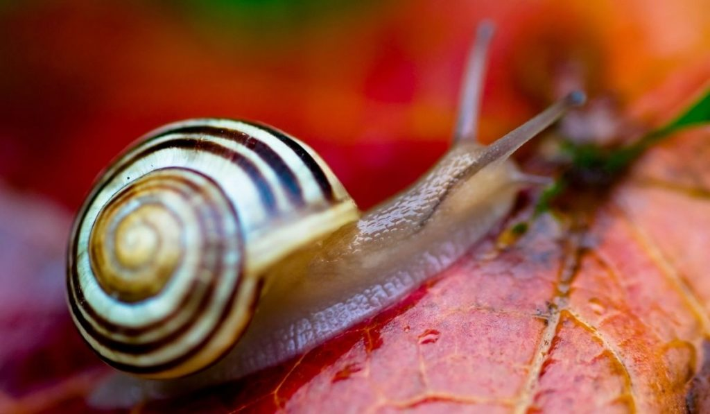 grove snail with yellow and brown bands on top of a red leaf.jpg