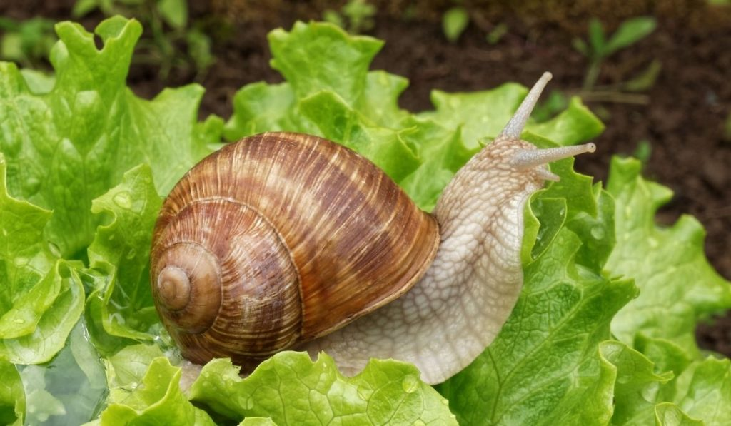 large brown snail on top of lettuce