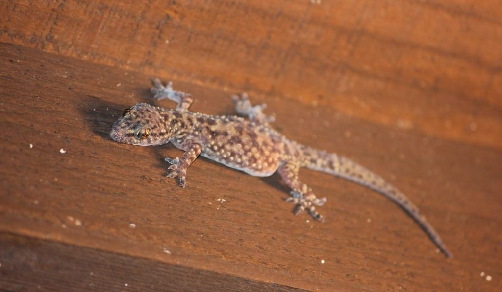 lizard on a wooden bed
