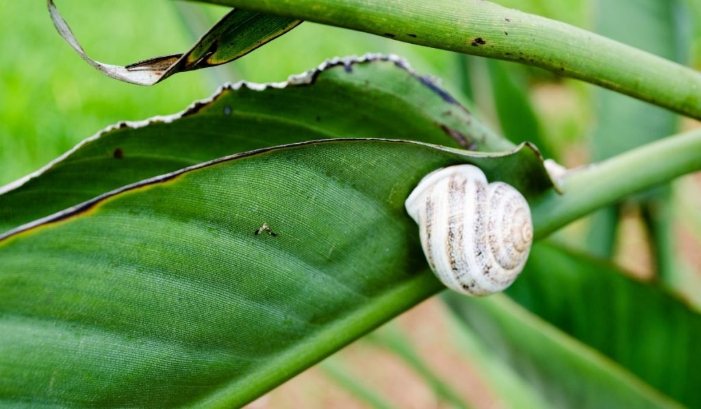 milk snail hanging from a leaf
