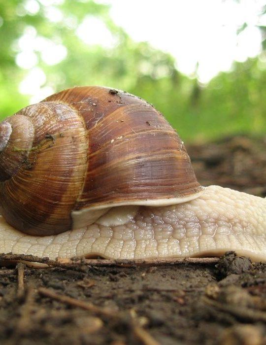 roman-snail-on-the-ground