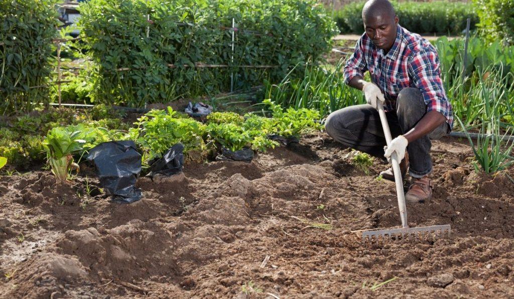man wearing checkered shirt with gardening gloves raking the soil in a garden