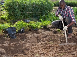 man-wearing-checkered-shirt-with-gardening-gloves-raking-the-soil-in-a-gardenman-wearing-checkered-shirt-with-gardening-gloves-raking-the-soil-in-a-garden