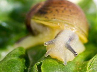 slug eating a lettuce leaf