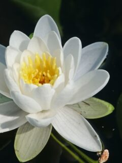 White-American-lily