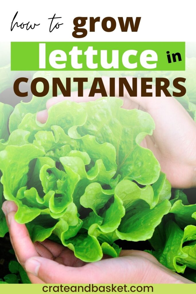 pinterest image - growing lettuce in containers