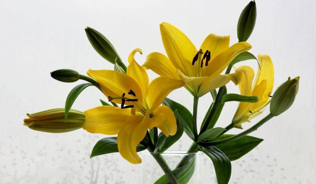 Belladonna - Orienpet Lily