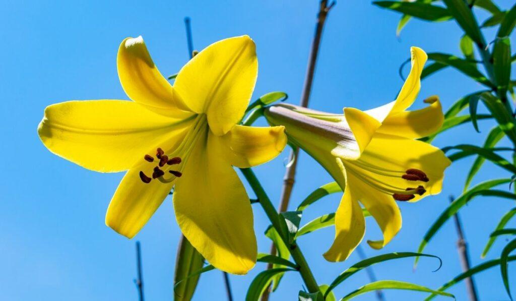 Golden Splendor - Trumpet Lily