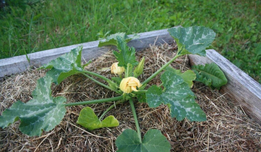 Raised-Garden-Squash