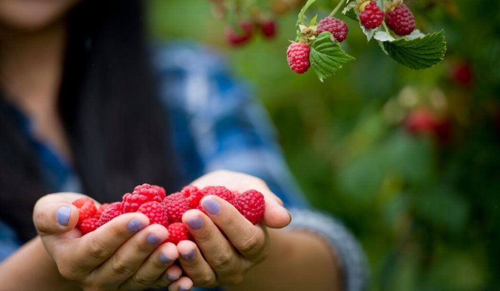 Woman-Harvesting-Fruits-in-Organic-Farm