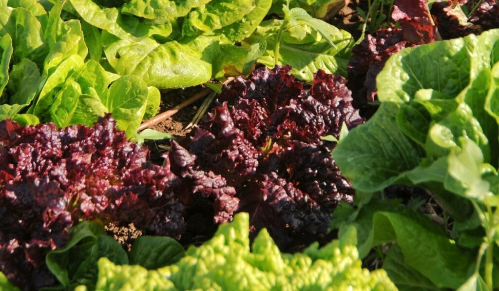 healthy vegetables grown in a raised bed