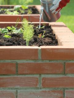 lady-gardener-watering-a-vegetable-garden-in-a-raised-bed-in-bricks