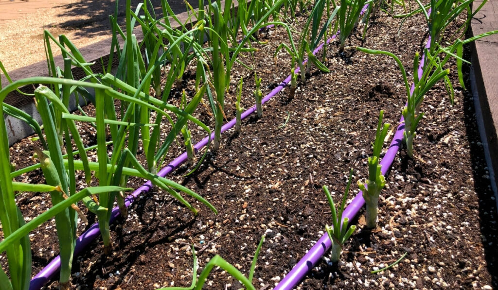 onions-in-a-raised-bed-with-an-irrigation-hose