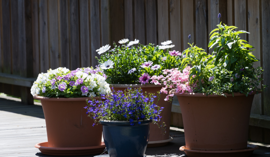 pots with flower fully bloomed on a sunny day.