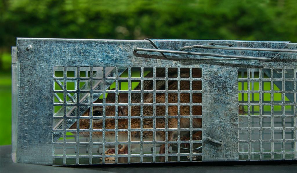 Captured chipmunk inside a live trap.