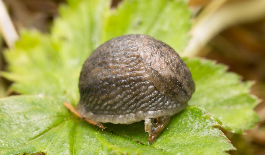 A dome type slug on the leaf