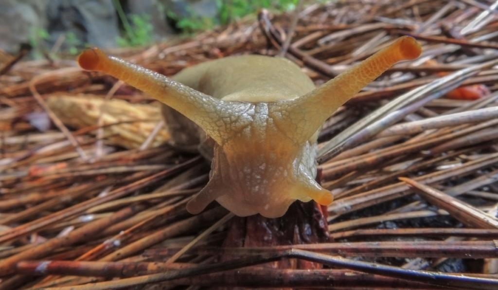 A brown slug on an old small broken woods