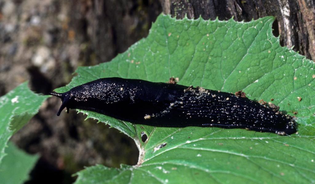 A black slug on a green leaf