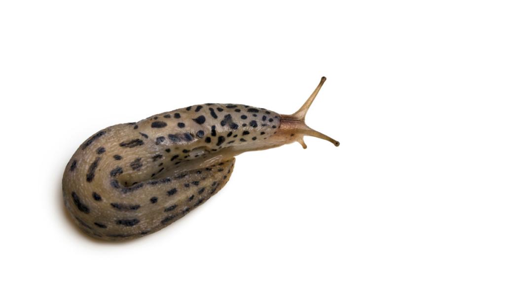 A leopard slug on a white background
