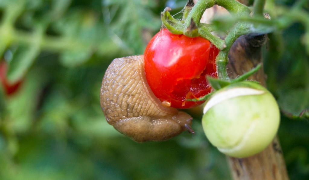 slug eating tomatoes