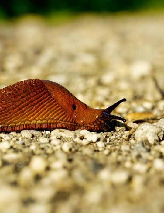 slug on the sand